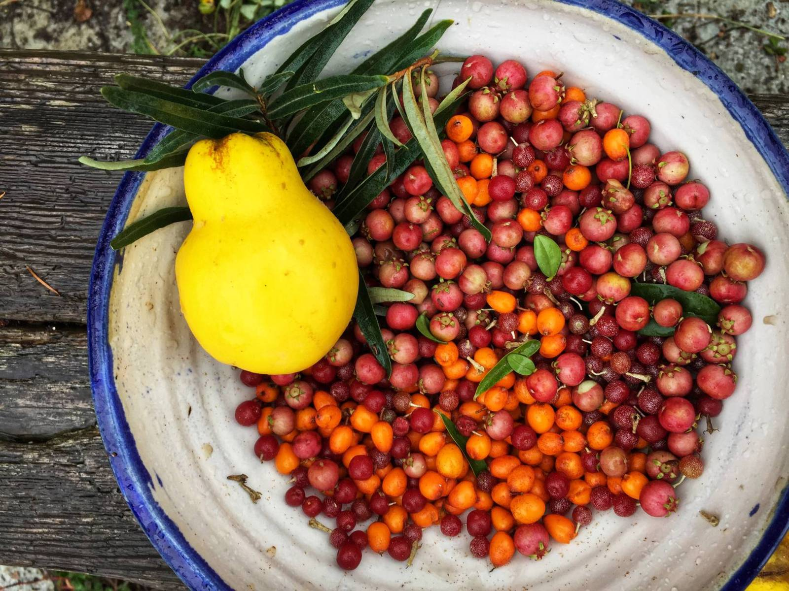 A small portion of a huge harvest: quince, chilean guavas, sea buckthorn, autumn olives.