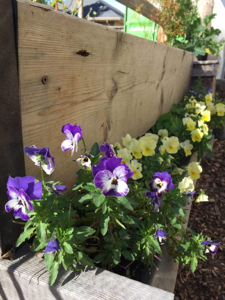Edible flowers grown from seed at Nourish.